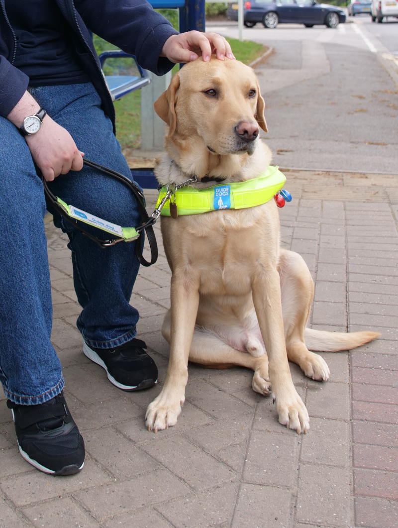 A guide dog sitting at a bus stop having his head patted